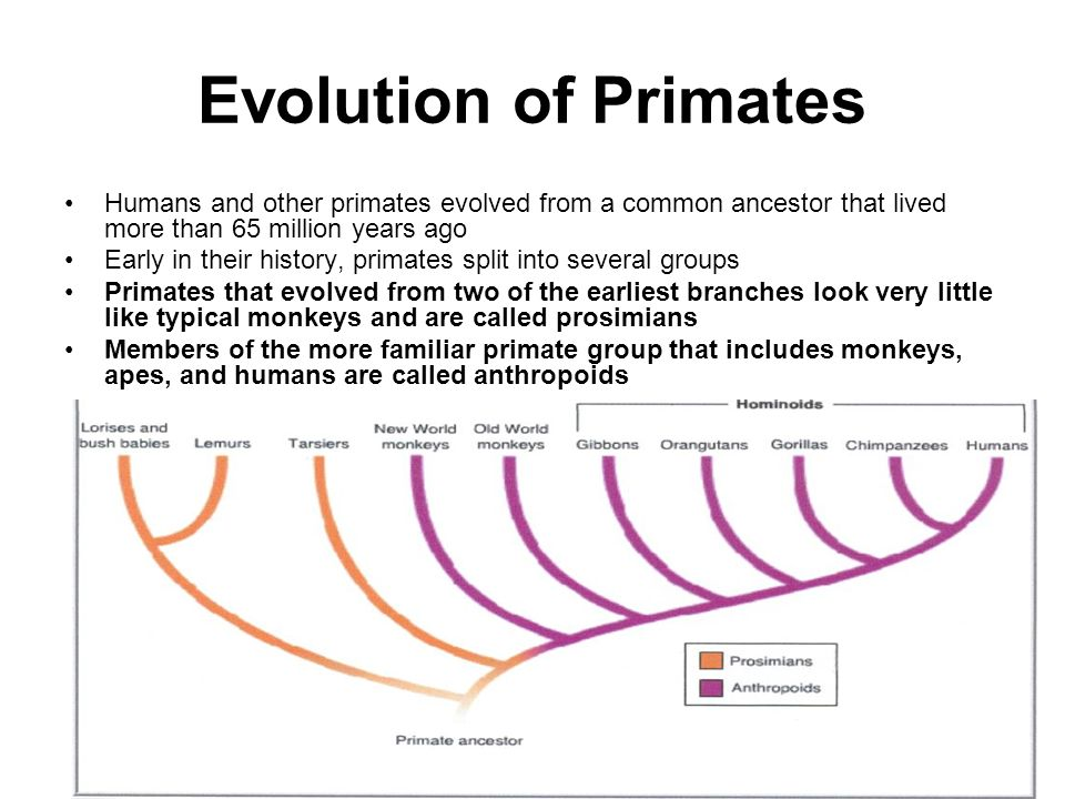 major groups of primates This section summarises information on the evolution of the major groups of animals, and also looks at the major environmental events that may have driven their.