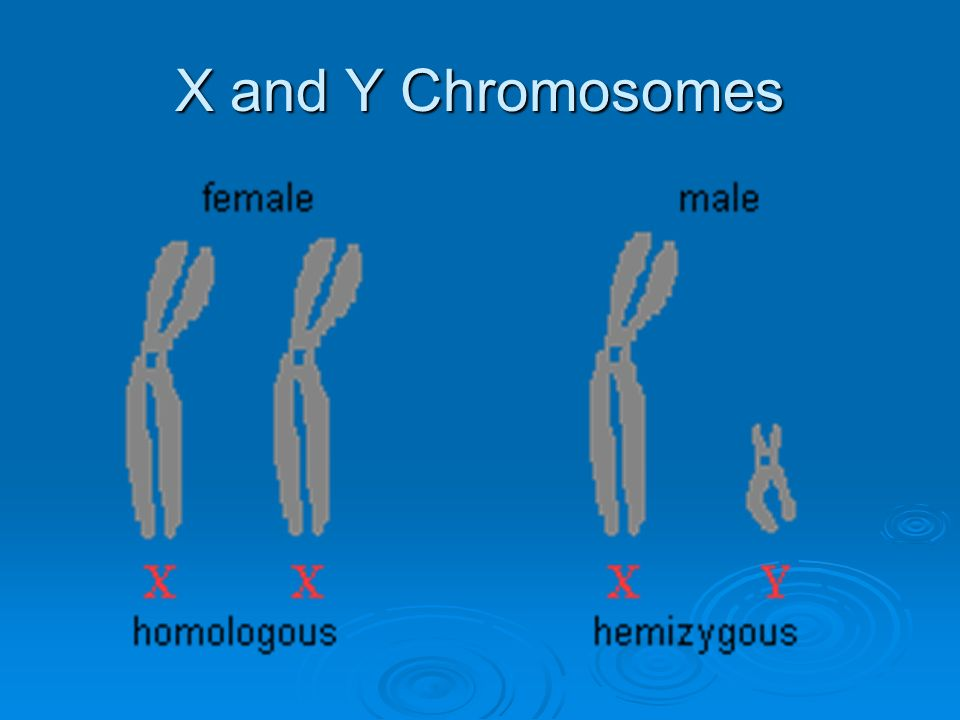 Ch. 5.1 Human Inheritance. - ppt video online download X And Y Chromosomes