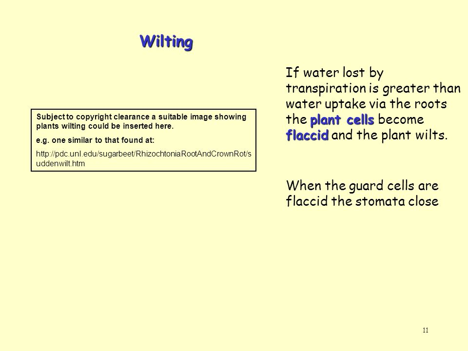 Wilting If water lost by transpiration is greater than water uptake via the roots the plant cells become flaccid and the plant wilts.