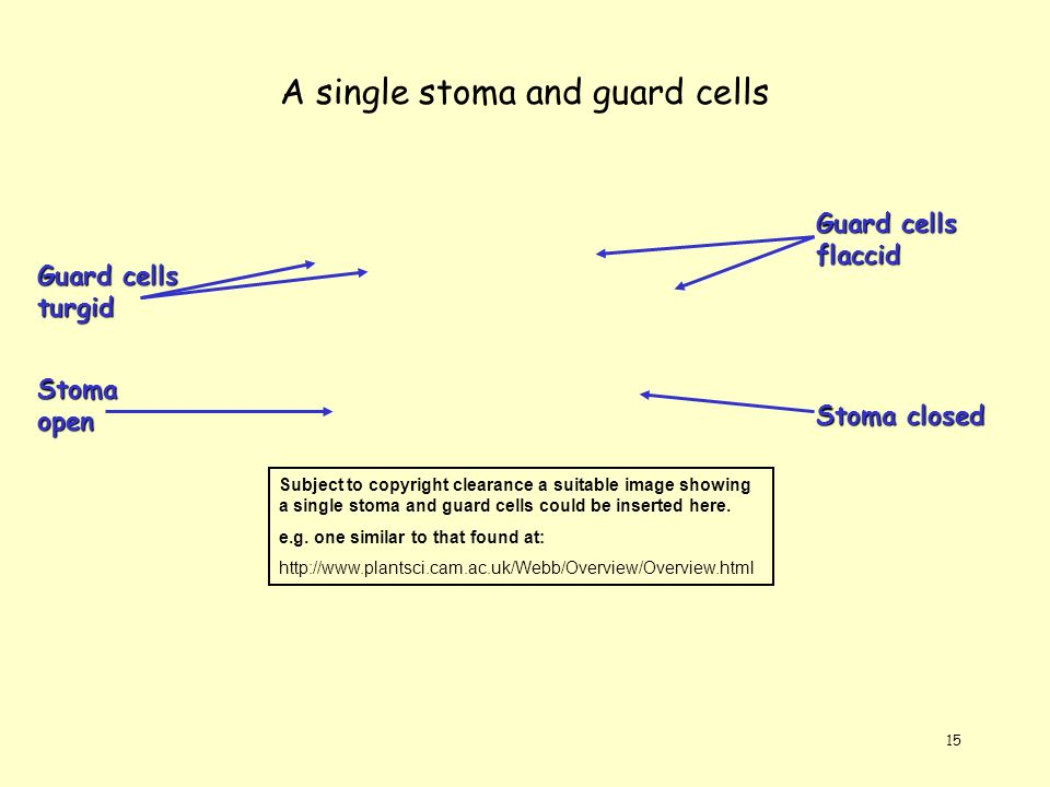 A single stoma and guard cells