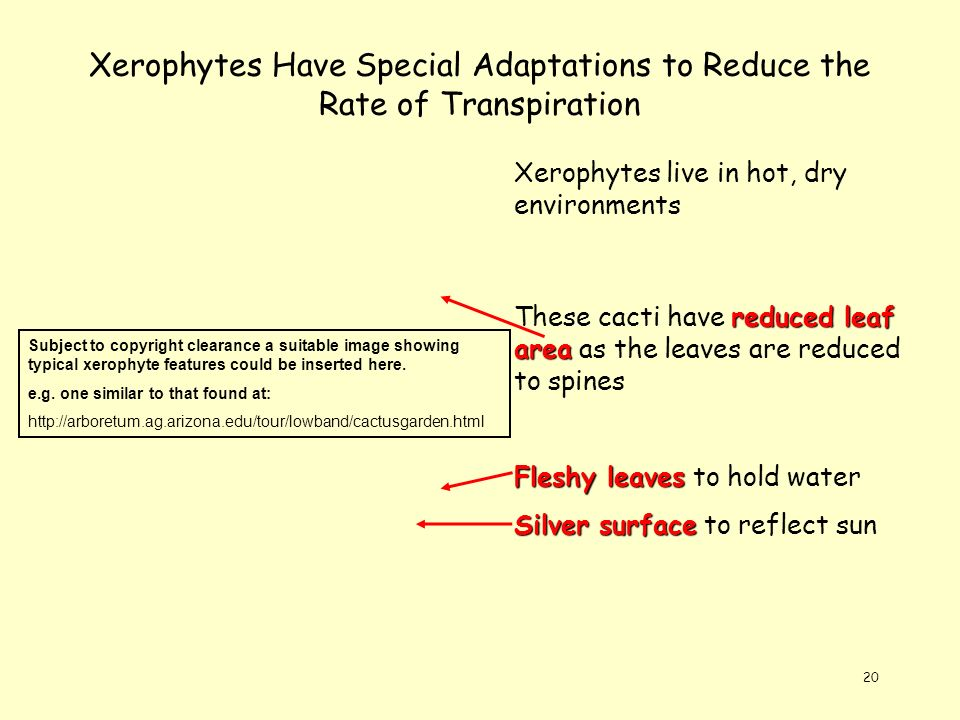 Xerophytes Have Special Adaptations to Reduce the Rate of Transpiration