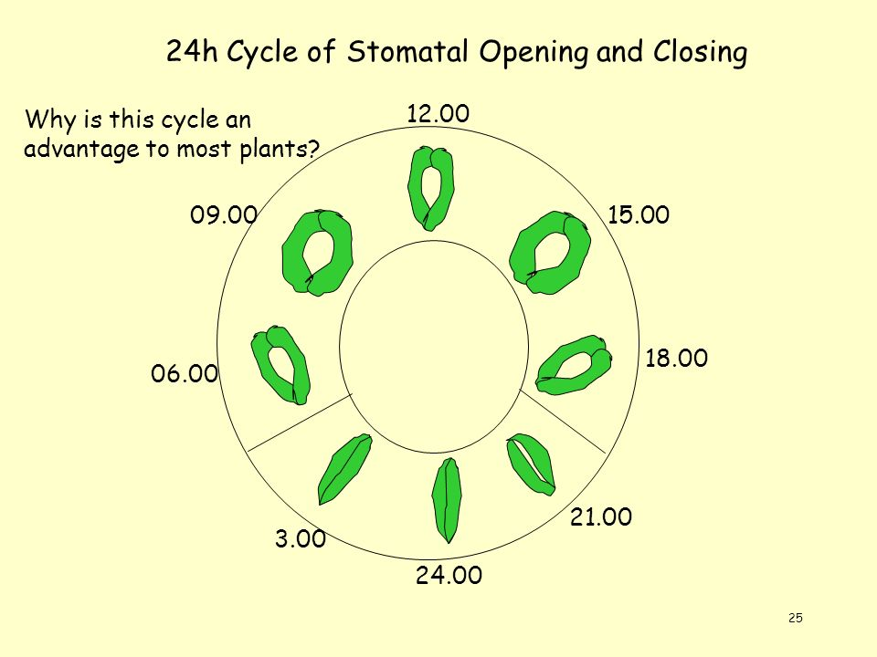 24h Cycle of Stomatal Opening and Closing