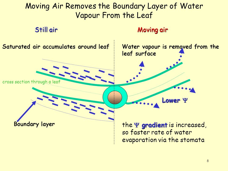 Moving Air Removes the Boundary Layer of Water Vapour From the Leaf