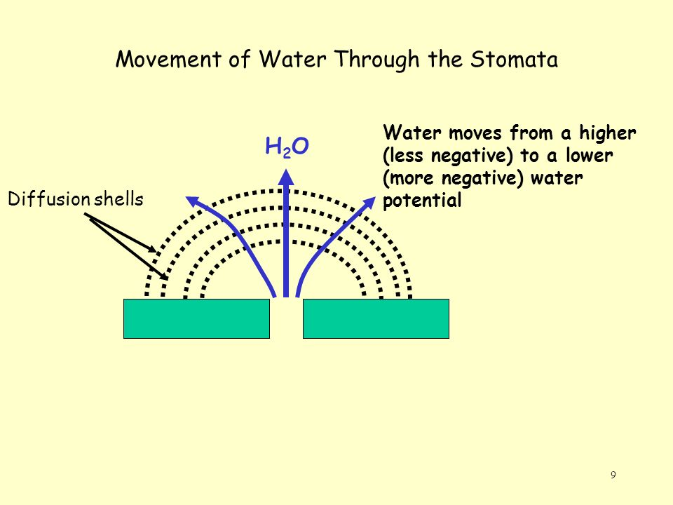 Movement of Water Through the Stomata