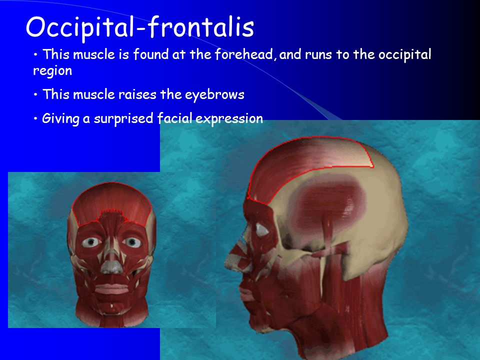 Occipital-frontalis This muscle is found at the forehead, and runs to the occipital region. This muscle raises the eyebrows.