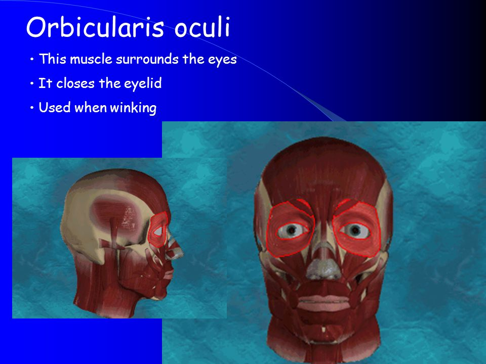 Orbicularis oculi This muscle surrounds the eyes It closes the eyelid