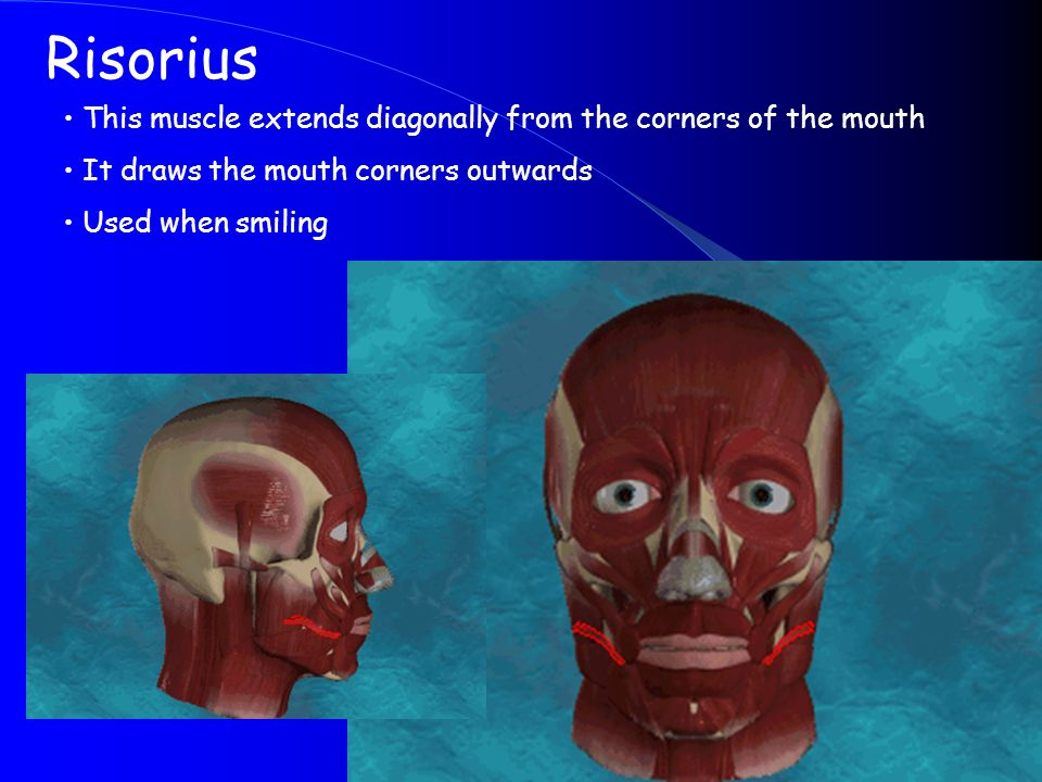 Risorius This muscle extends diagonally from the corners of the mouth