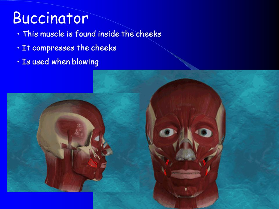 Buccinator This muscle is found inside the cheeks