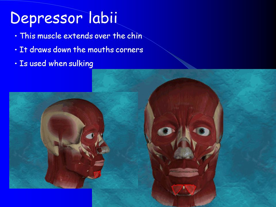 Depressor labii This muscle extends over the chin