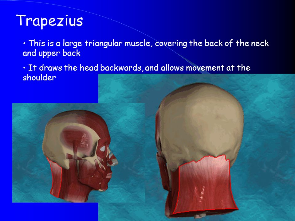 Trapezius This is a large triangular muscle, covering the back of the neck and upper back.