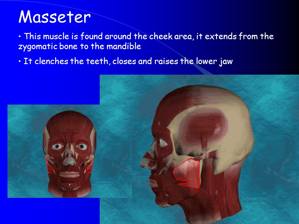 Masseter This muscle is found around the cheek area, it extends from the zygomatic bone to the mandible.