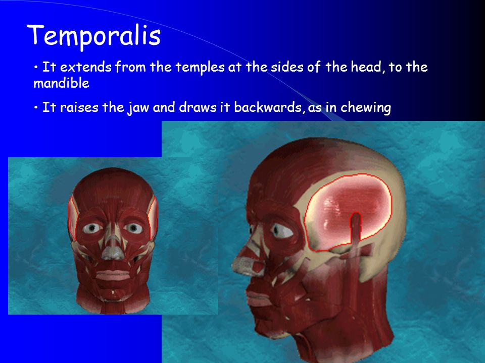Temporalis It extends from the temples at the sides of the head, to the mandible.