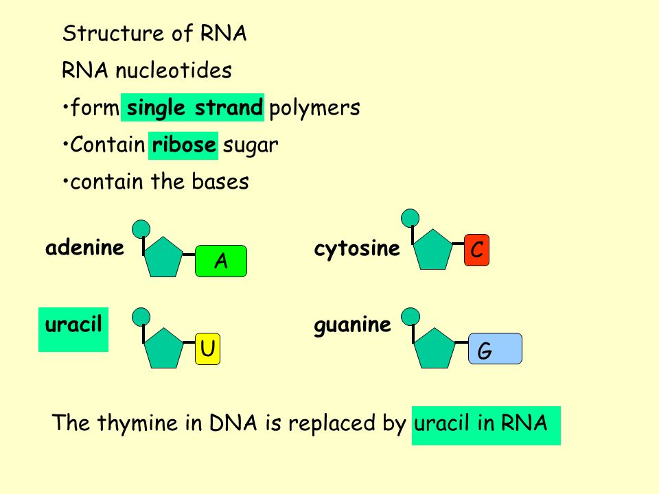 Structure of RNA RNA nucleotides. form single strand polymers. Contain ribose sugar. contain the bases.