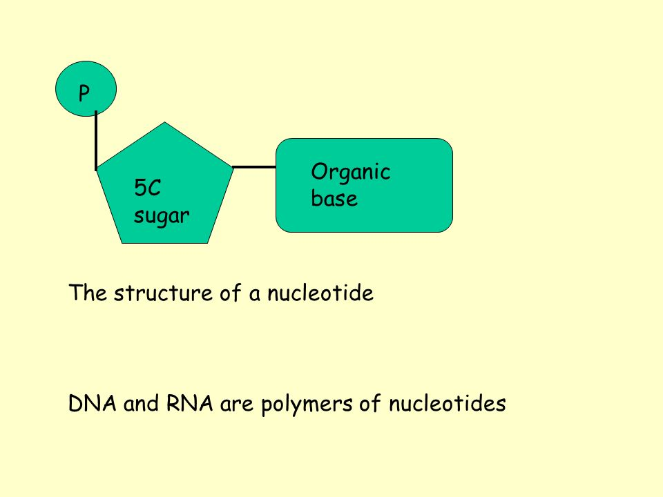 P Organic base 5C sugar The structure of a nucleotide DNA and RNA are polymers of nucleotides