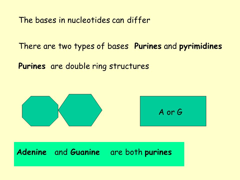The bases in nucleotides can differ