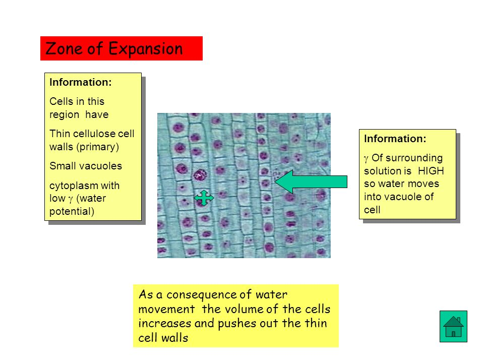 Zone of Expansion Information: Cells in this region have. Thin cellulose cell walls (primary) Small vacuoles.