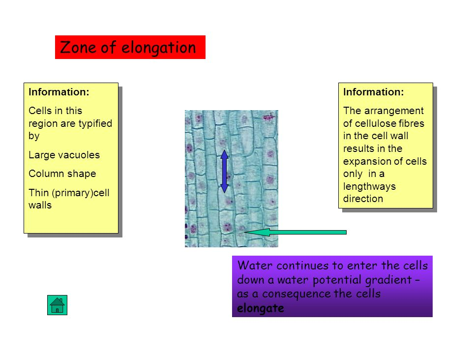 Zone of elongation Information: Cells in this region are typified by. Large vacuoles. Column shape.