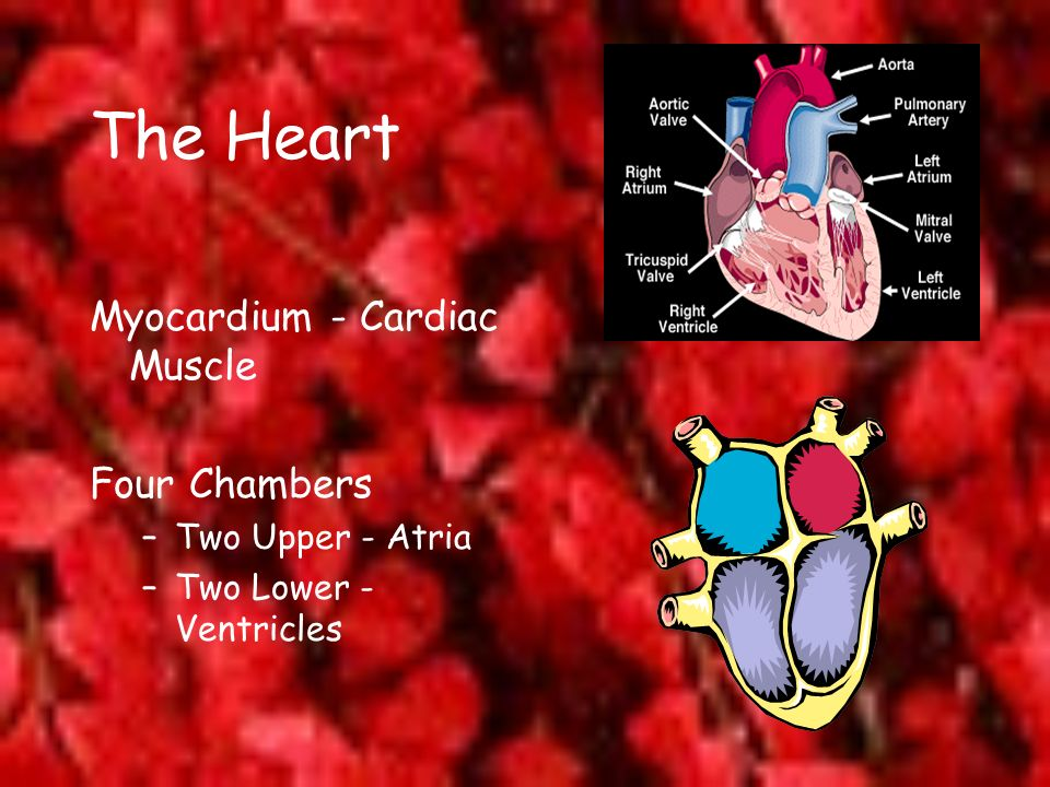The Heart Myocardium - Cardiac Muscle Four Chambers Two Upper - Atria