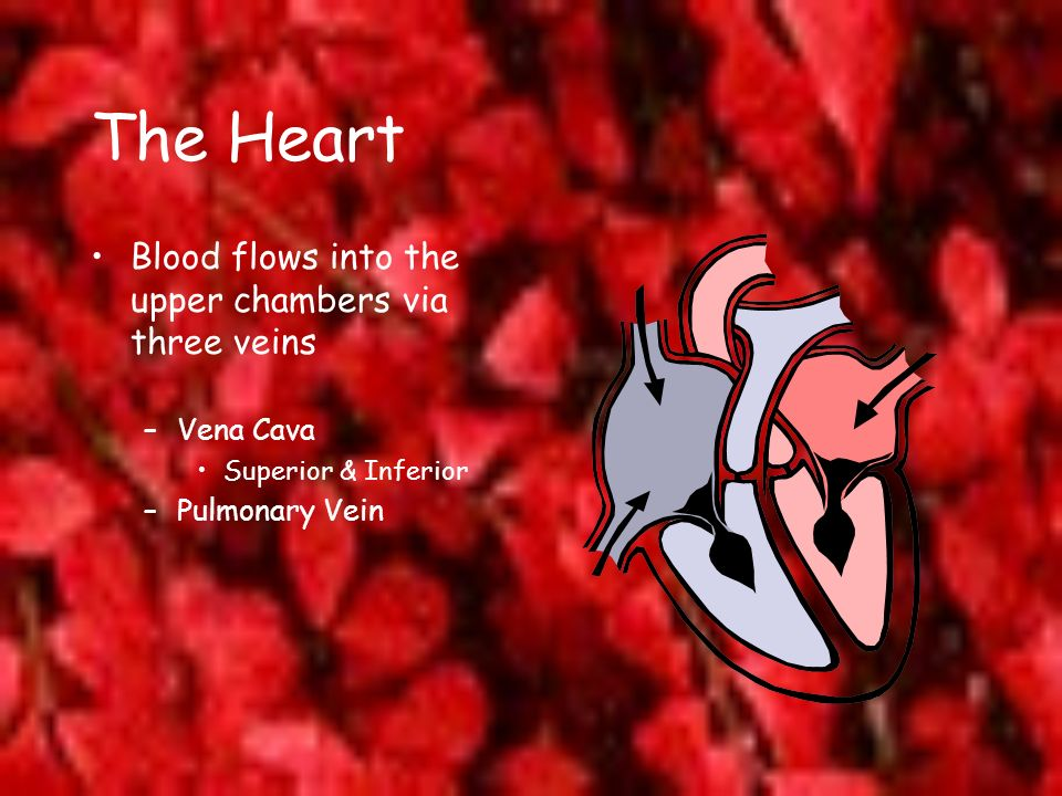 The Heart Blood flows into the upper chambers via three veins