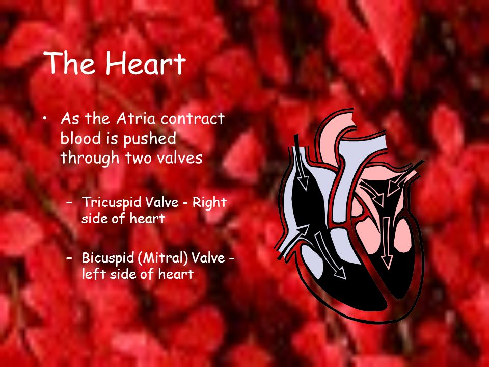 The Heart As the Atria contract blood is pushed through two valves
