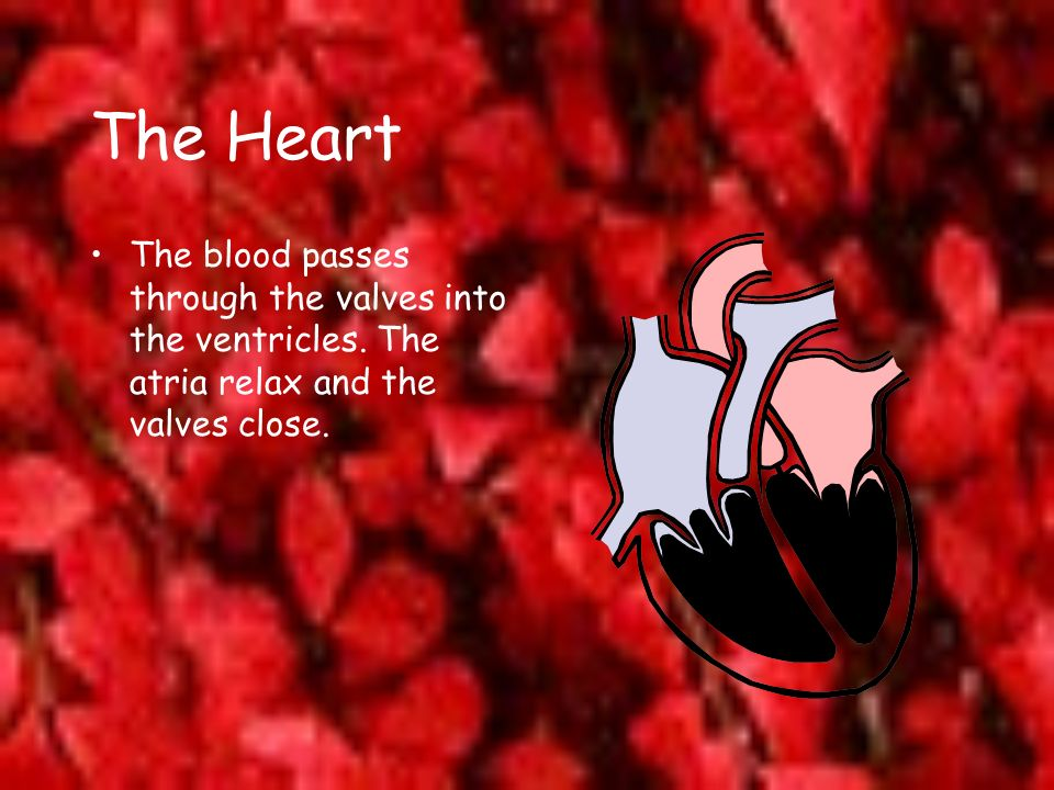 The Heart The blood passes through the valves into the ventricles.