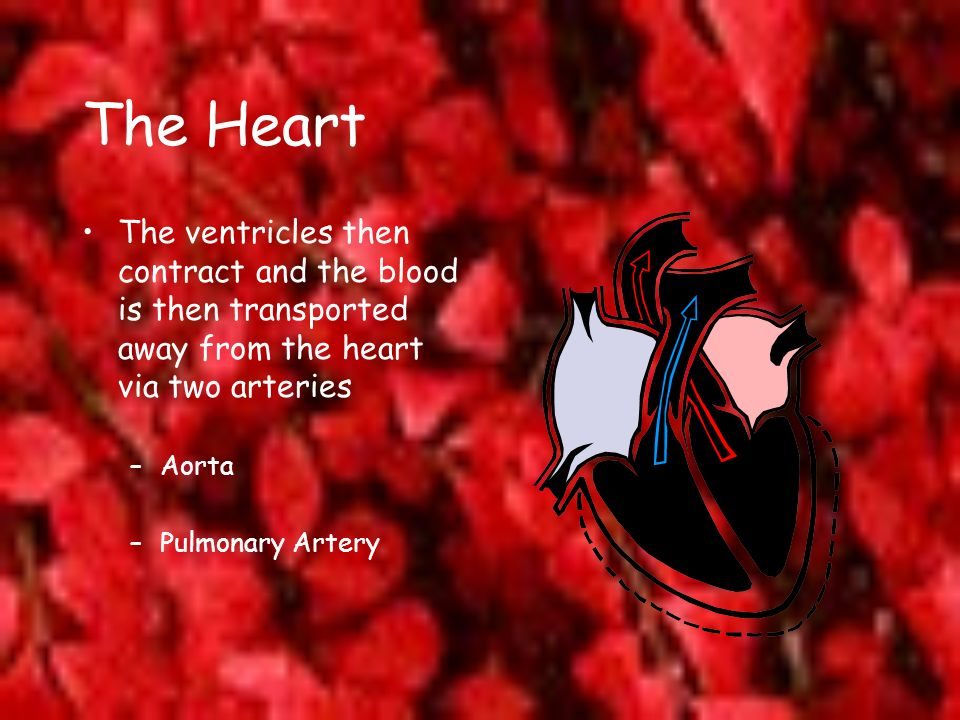 The Heart The ventricles then contract and the blood is then transported away from the heart via two arteries.