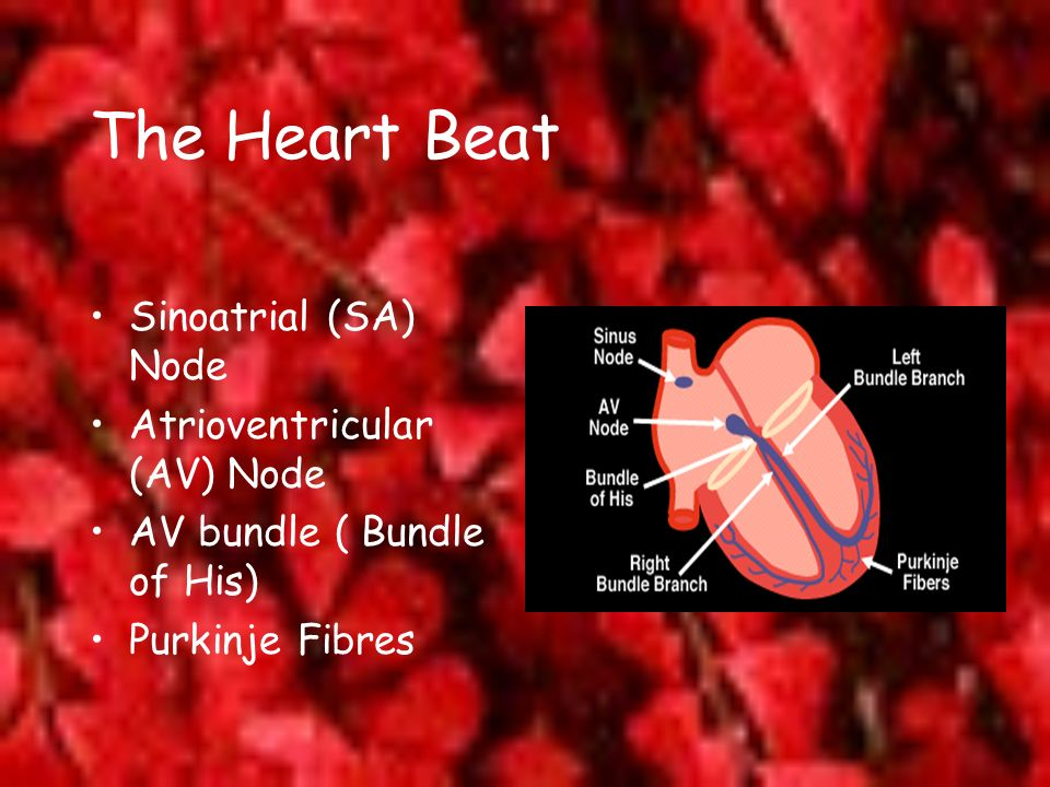 The Heart Beat Sinoatrial (SA) Node Atrioventricular (AV) Node