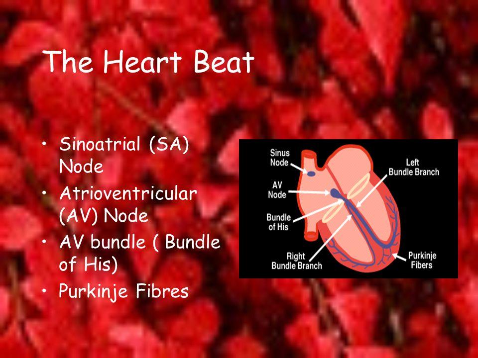 The Heart Beat Sinoatrial (SA) Node Atrioventricular (AV) Node