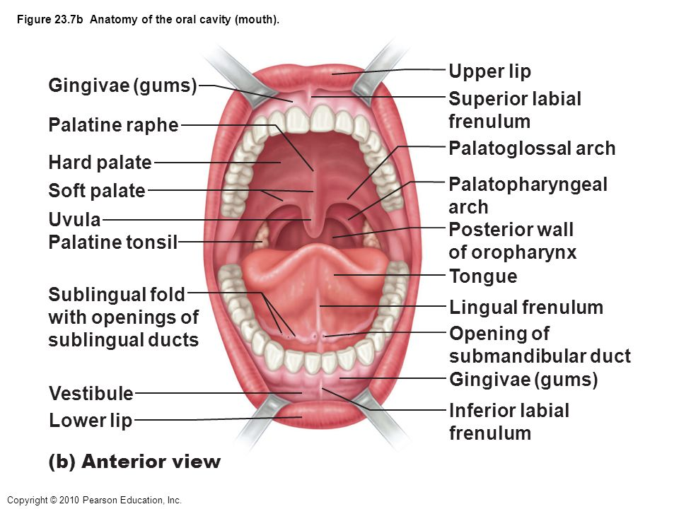 Inside the mouth anatomy