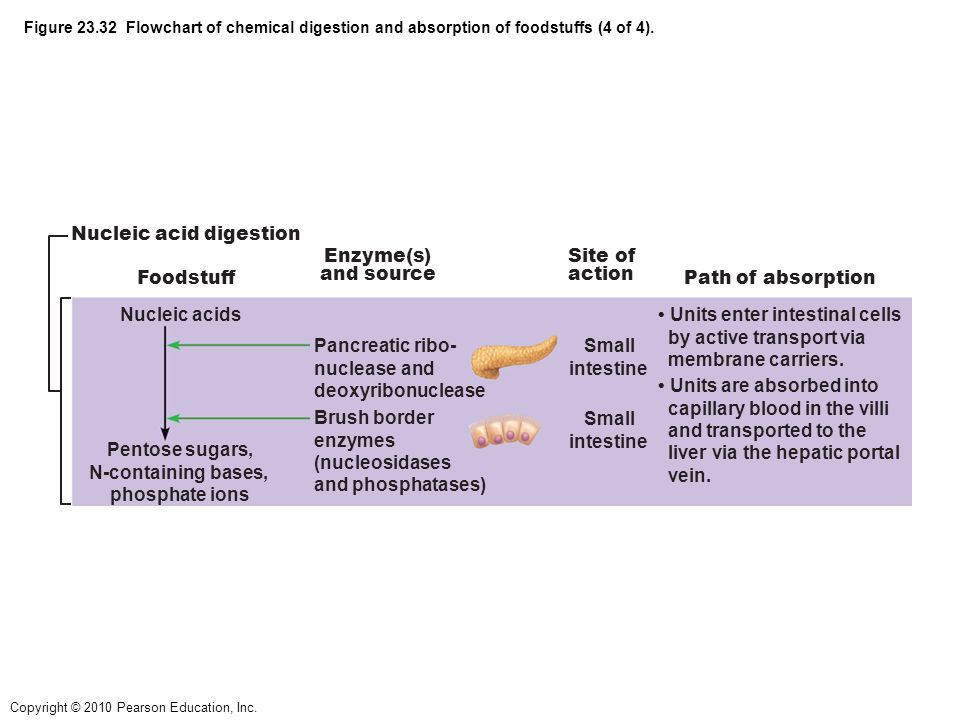 chemical digestion of foodstuffs enzymatic action The chemistry and physiology of digestion contain enzymes that accelerate chemical reaction by in the digestion of food requires the action of a.