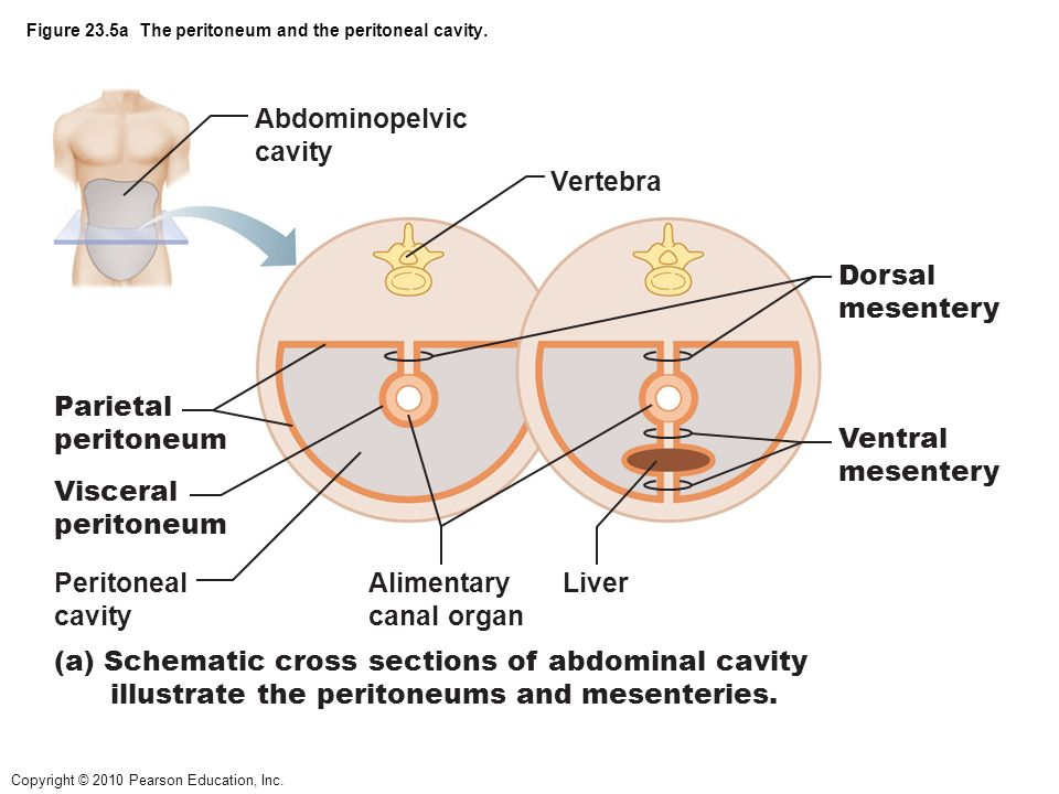 figure 23.1 alimentary canal and related accessory digestive, Human Body