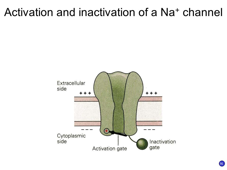 Sodium channel inactivation peptide hormone
