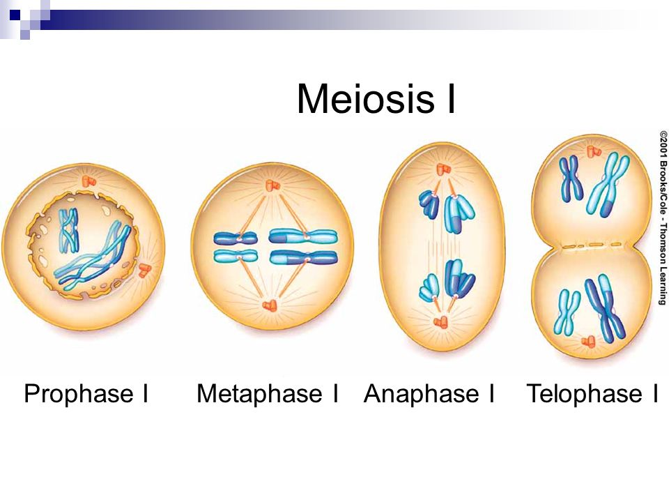 Prophase Prometaphase Metaphase Anaphase Telophase Sexual Reproduction. -...