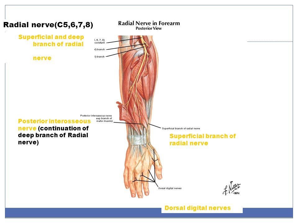 Niedlich Anatomy Radial Nerve Bilder Menschliche Anatomie Bilder