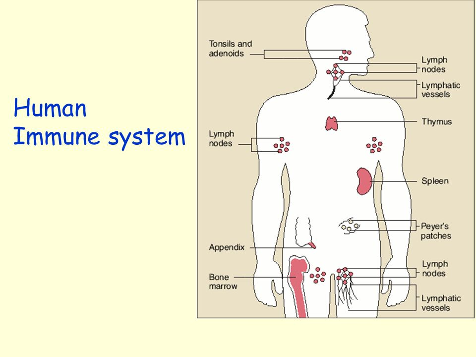 human immune system The human immune system is incredibly complex - how does it work.