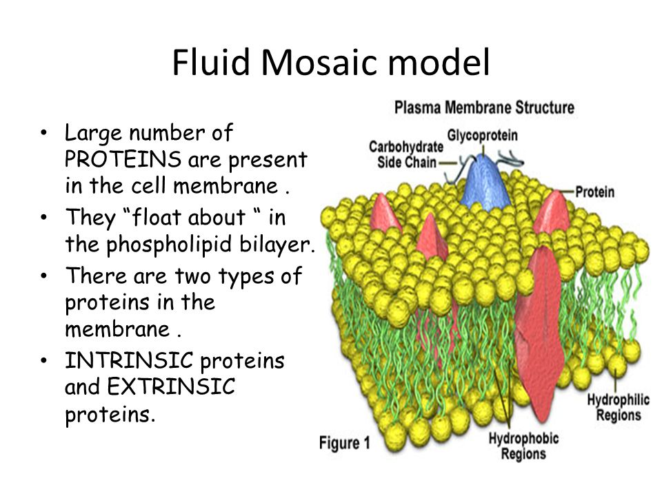 describe the fluid mosaic model of a plasma membrane 07-10-2007 a fluid mosaic model is presented for the gross organization and structure of the proteins and lipids of biological membranes the model is consistent with the restrictions imposed by thermodynamics.