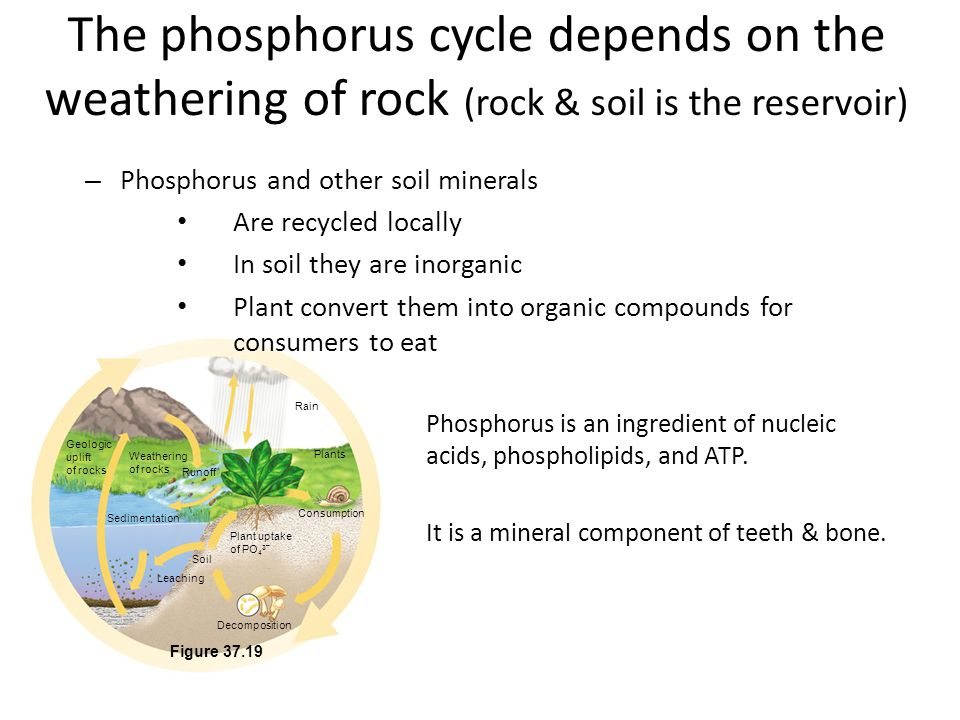 The phosphorus cycle depends on the weathering of rock (rock & soil is the reservoir)