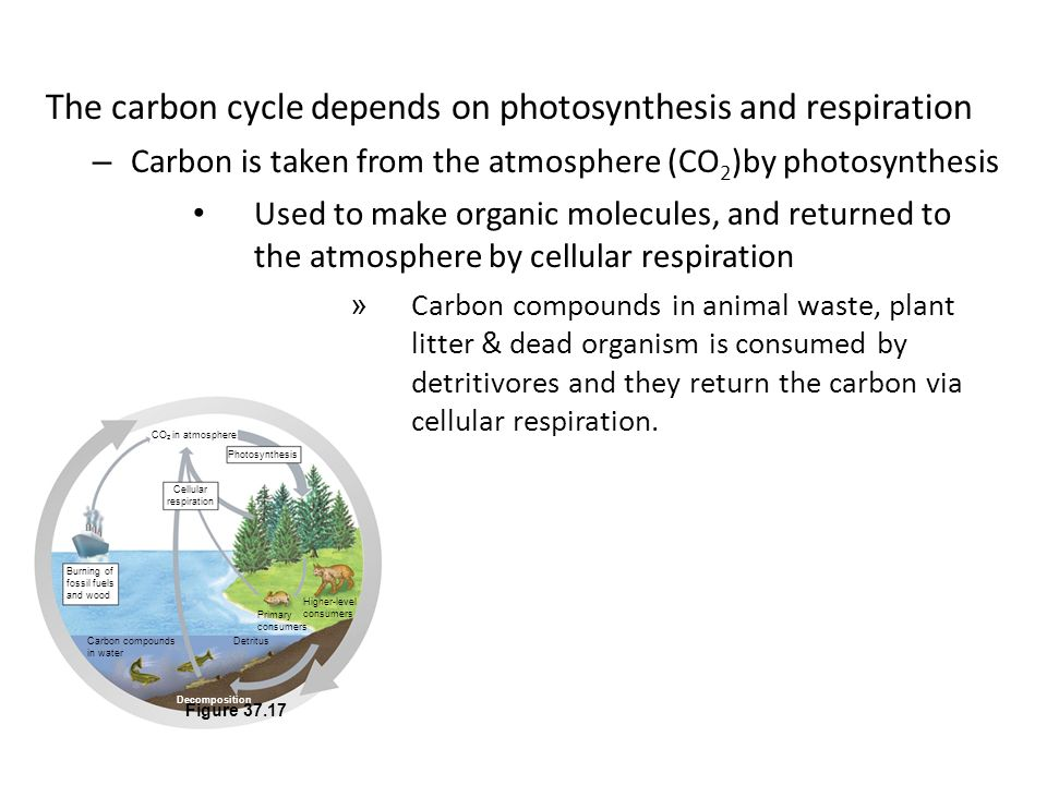 The carbon cycle depends on photosynthesis and respiration