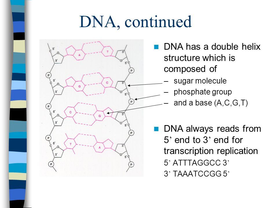 DNA, continued DNA has a double helix structure which is composed of