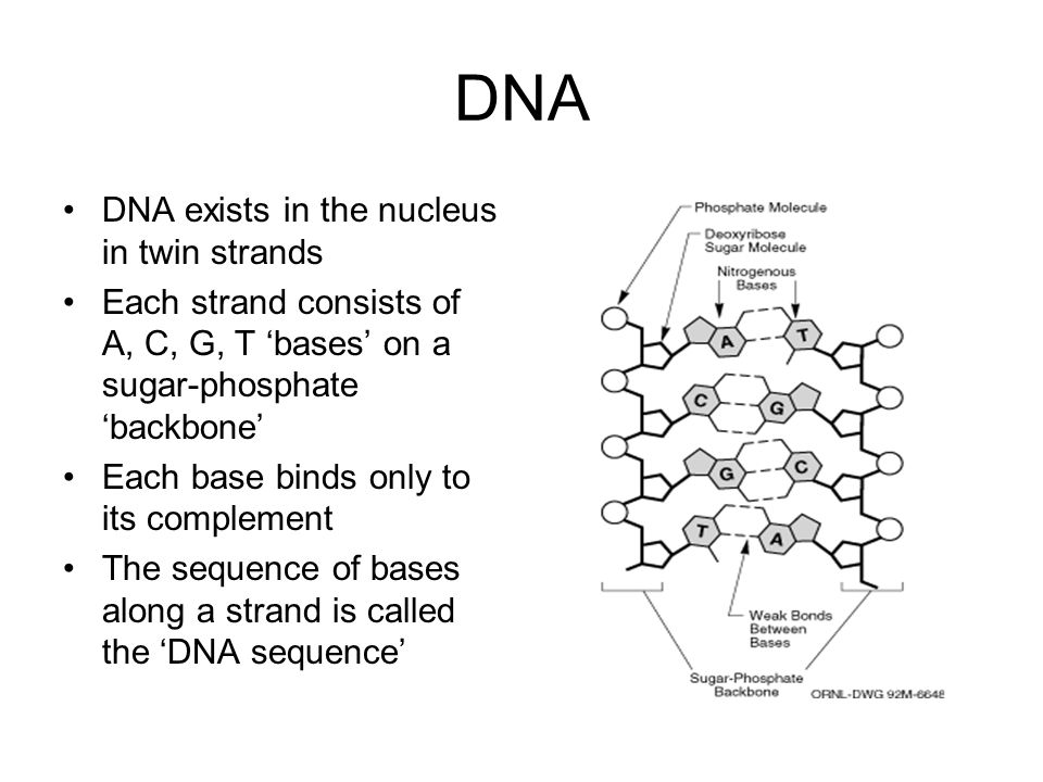 DNA DNA exists in the nucleus in twin strands