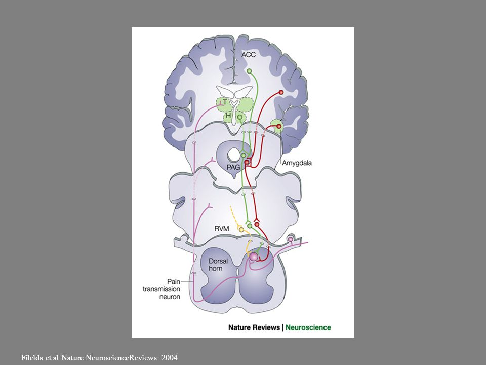 Filelds et al Nature NeuroscienceReviews 2004