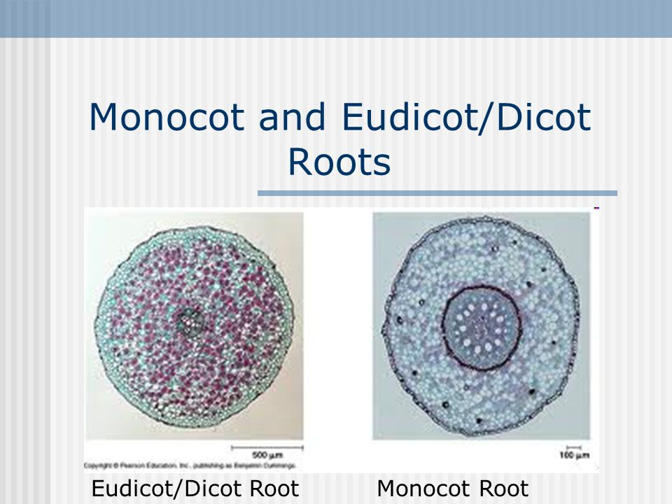 Monocot and Eudicot/Dicot Roots - ppt video online download