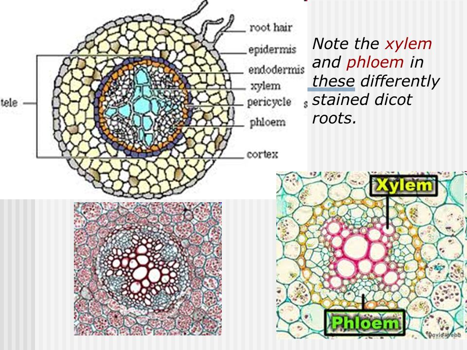 Monocot And Eudicot Dicot Roots Ppt Video Online Download