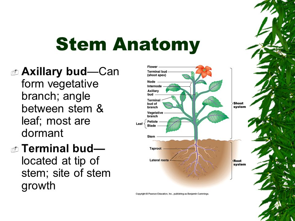 Plant anatomy ppt 2939260 - follow4more.info