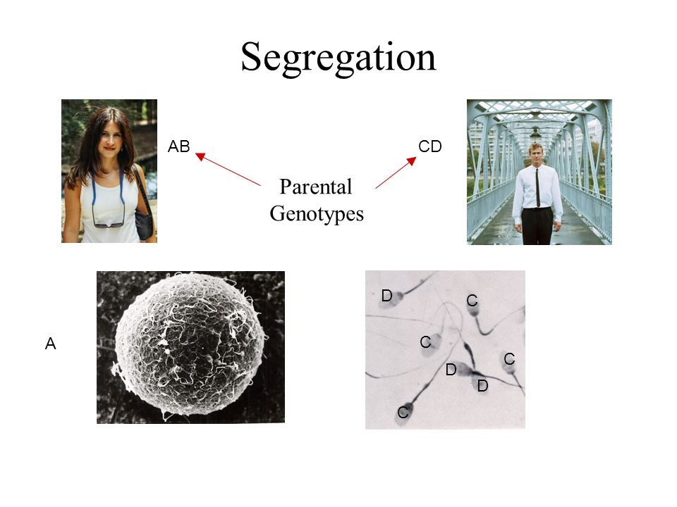 Segregation AB CD Parental Genotypes D C A C C D D C