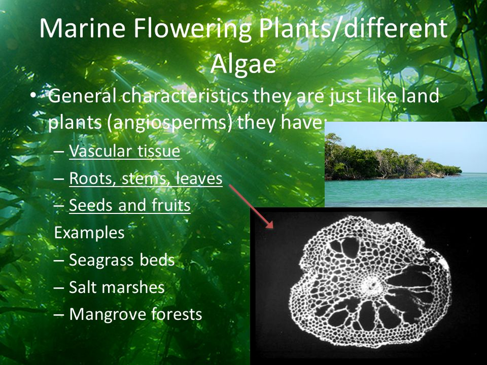 seagrass and seaweed resources essay Here you can explore seagrasses, seagrass beds and their importance  resources for students & parents  what is seaweed aquatic biome: reefs, mangroves, and .