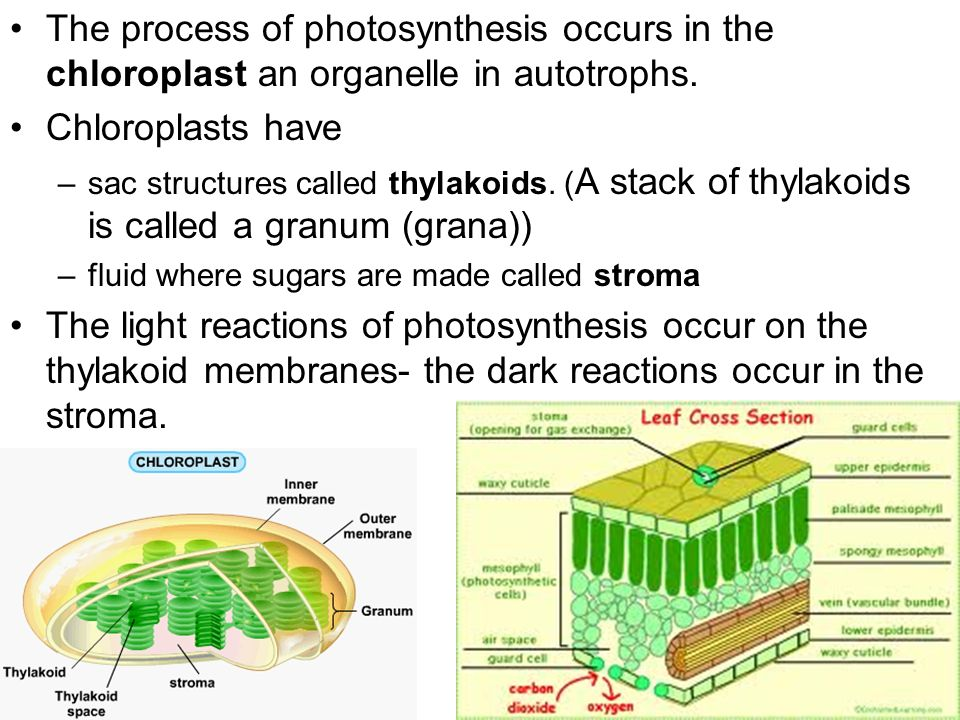 process of photosynthesis Key plant process - photosynthesis (6 steps) learn with flashcards, games, and more — for free.