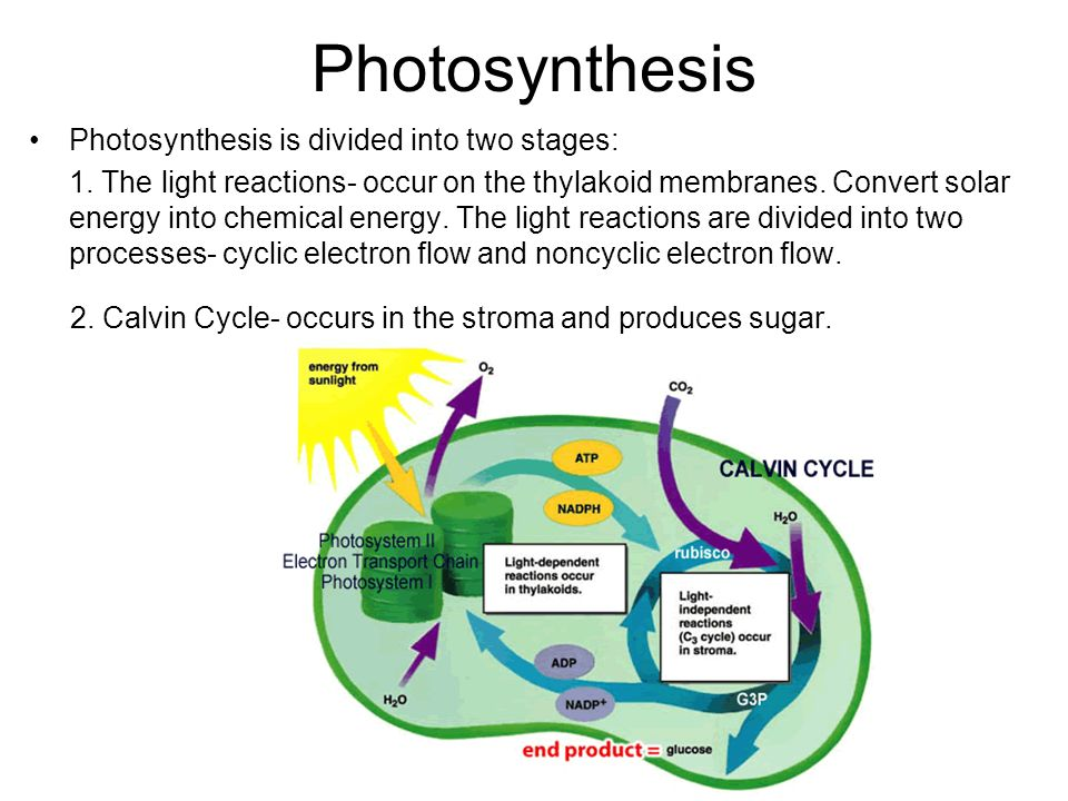 diagrams of photosynthesis The calvin cycle is a set of light independent redox reactions of photosynthesis and carbon fixation here is a look at the reactions.