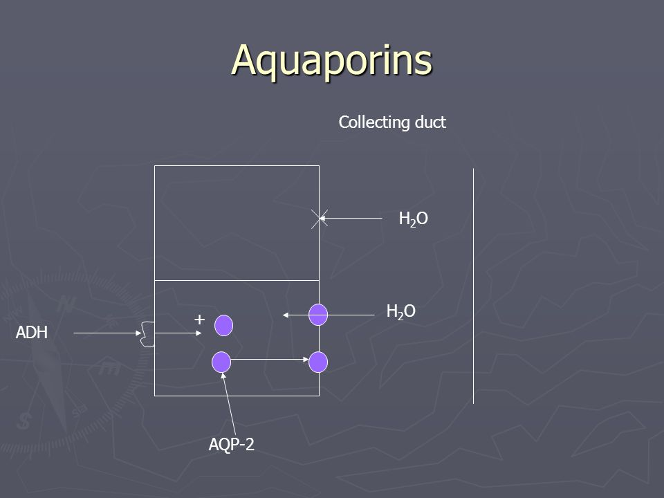 Aquaporins Collecting duct H2O H2O + ADH AQP-2