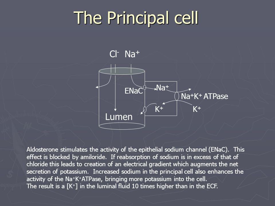 The Principal cell Cl- Na+ Lumen Na+ ENaC Na+K+ ATPase K+ K+